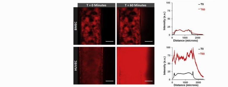 Shannon's work demonstrates differences in barrier function between HUVECs and IPSC-derived brain microvascular endothelial cells under various flow conditions in microchannels patterned in a hydrogel