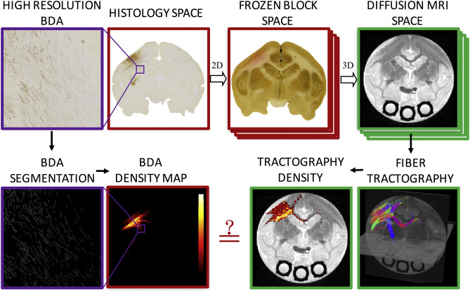 Methodology pipeline. High resolution BDA micrographs are registered to the corresponding digital photograph of the frozen tissue block, which is registered to the 3D diffusion MRI volume. From the micrograph, BDA is automatically segmented, resulting in a BDA density map. From diffusion MRI, tractography is performed, resulting in tract density maps. Direct, voxel-by-voxel comparisons can now be made between histology and diffusion tractography.