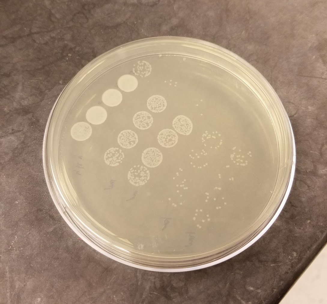 serial-dilutions-infected-beetles