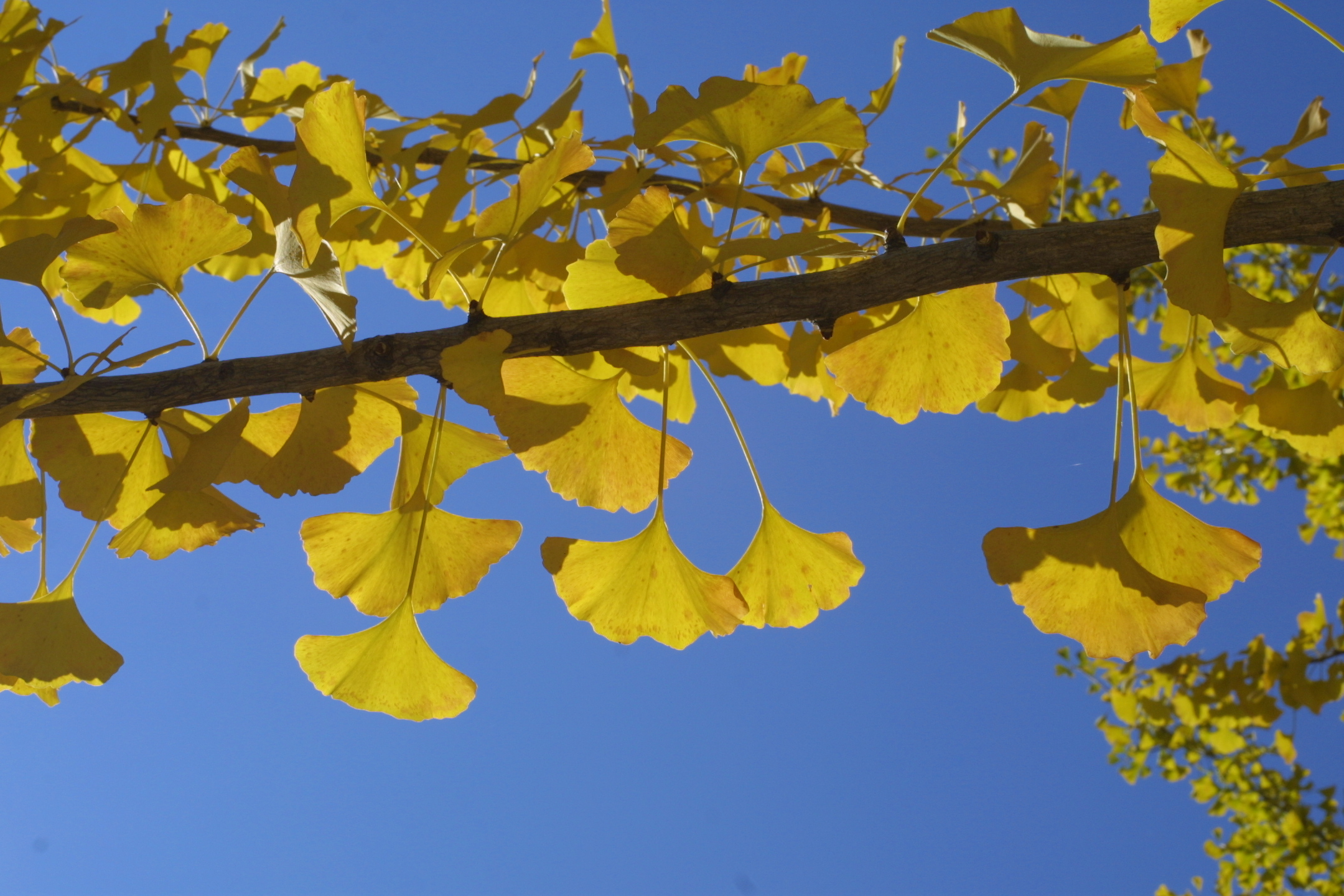 ginkgoes vanderbilt arboretum blog vanderbilt university